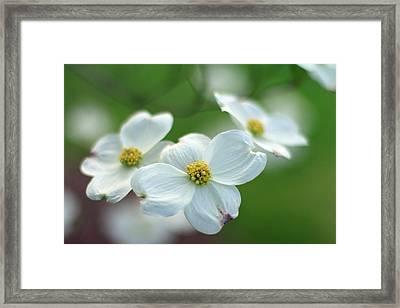 White Dogwood Flower Framed Print