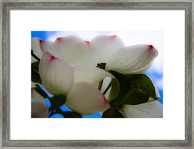 White Dogwood Flower Framed Print by David Patterson