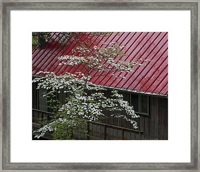 White Dogwood In The Rain Framed Print