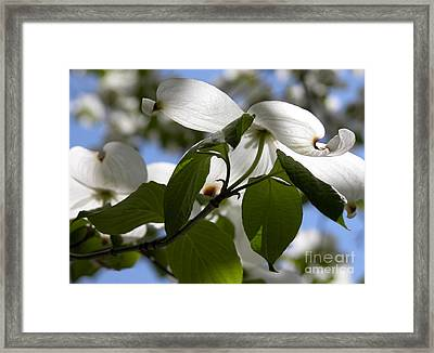White Dogwood Framed Print