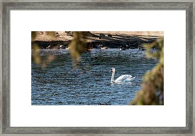 Framed Print featuring the photograph White Duck by Onyonet  Photo Studios