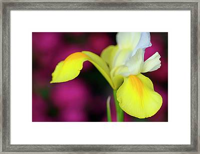 White Dutch Iris With Yellow Falls And Purple Flowers In Backgro Framed Print by Reimar Gaertner