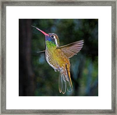 White Eared Hummingbird Framed Print