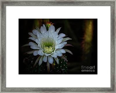 White Echinopsis   Framed Print by Saija  Lehtonen
