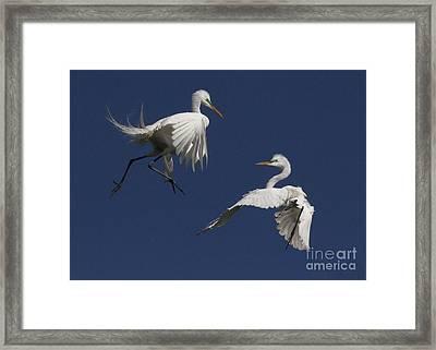 White Egret Ballet Framed Print