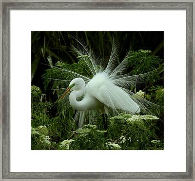 Framed Print featuring the photograph White Egret Displaying by Myrna Bradshaw