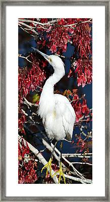 White Egret In Red Maple Tree Framed Print
