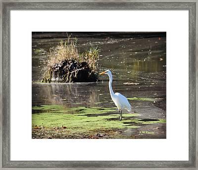 White Egret In The Shallows Framed Print