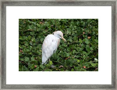 Framed Print featuring the photograph White Egret by Monte Stevens