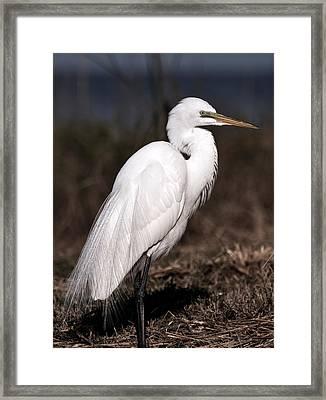 White Egret Portrait Framed Print by Rose  Hill