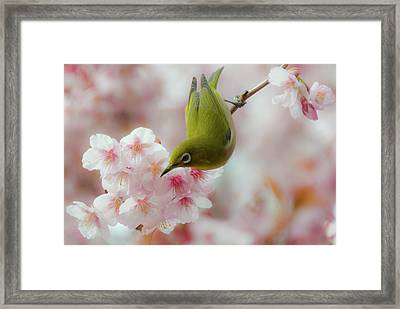 White-eye And Cherry Blossoms Framed Print by I love Photo and Apple.