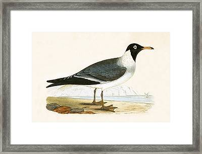 White Eyed Gull Framed Print by English School