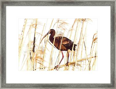 White Faced Ibis In Reeds Framed Print