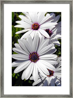 White Flower 1 Framed Print by Isam Awad