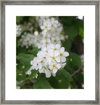 White Flower Framed Print by Susan Pedrini