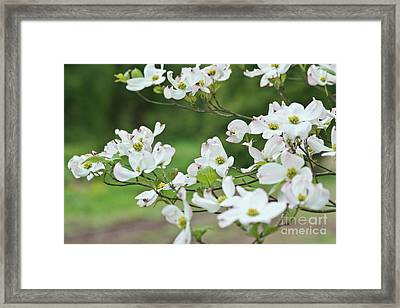 White Flowering Dogwood Framed Print by Ann Murphy