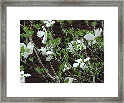 White Flowering Dogwood Framed Print