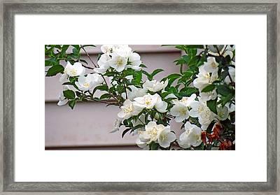 White Flowering Spring Bush Framed Print