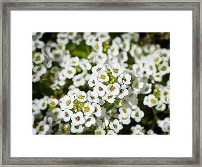 White Flowers - Garden Gems - Sharon Cummings Framed Print by Sharon Cummings