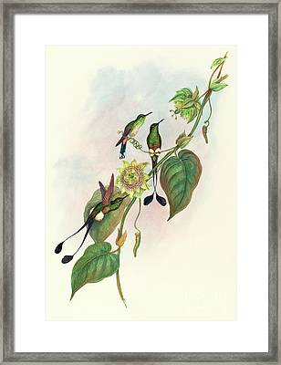 White Footed Racket Tail Framed Print by John Gould