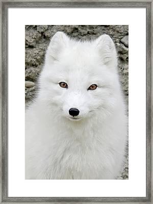 White Fox Framed Print