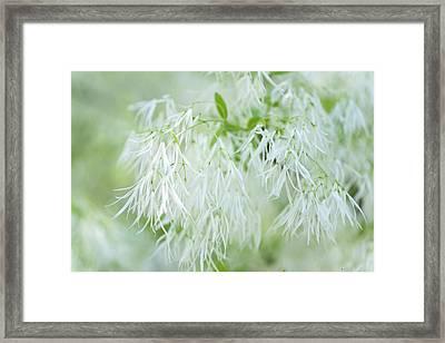 White Fringetree Framed Print