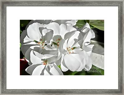 White Geraniums Framed Print