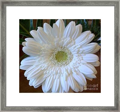 White Gerber Beauty Framed Print by Marsha Heiken