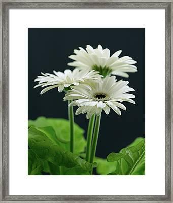 White Gerbers Framed Print
