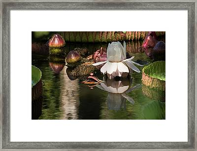 White Giant Water Lily Framed Print by Zina Stromberg