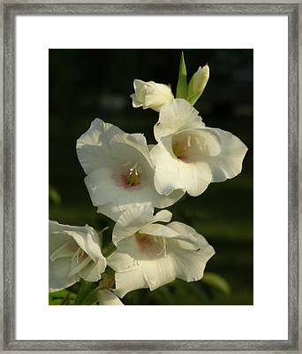 White Glads Framed Print by Jeanette Oberholtzer