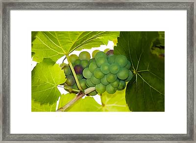 White Grapes In Garden Framed Print by Lanjee Chee
