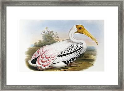 White-headed Ibis, Tantalus Leucocephalus Framed Print
