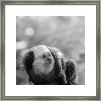 White-headed Marmoset Framed Print by Wim Lanclus