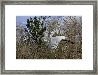 White Heron In Flight Framed Print