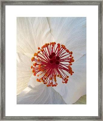 White Hibiscus - Edit Framed Print