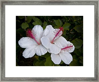 White Hibiscus Trio Framed Print