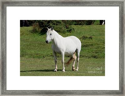 White Horse Framed Print