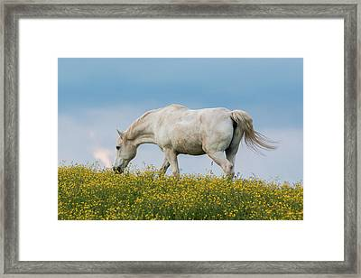 White Horse Of Cataloochee Ranch 2 - May 30 2017 Framed Print
