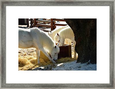 Framed Print featuring the photograph White Horses Feeding by David Lee Thompson