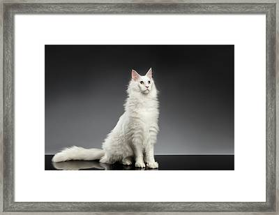 White Huge Maine Coon Cat On Gray Background Framed Print by Sergey Taran