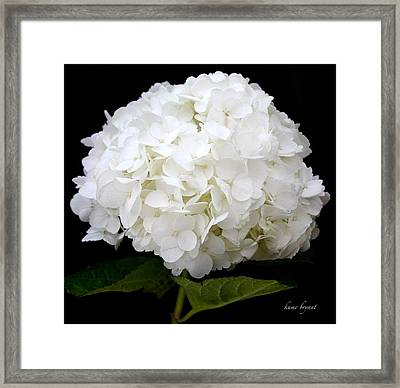 White Hydrangea Framed Print by Kume Bryant