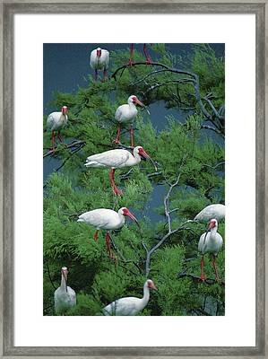 White Ibis At Galveston Bay Near Smith Framed Print by Joel Sartore
