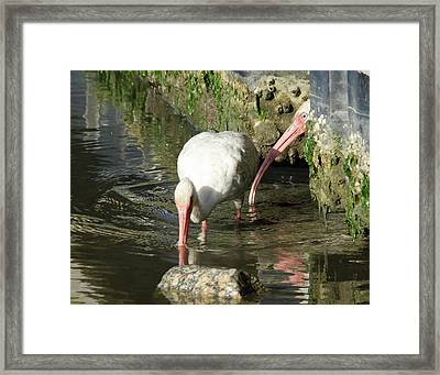 White Ibis Couple Framed Print by George Randy Bass