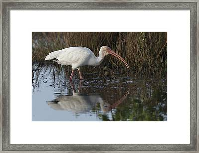 White Ibis Feeding Framed Print