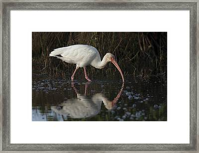 White Ibis Feeding In Morning Light Framed Print