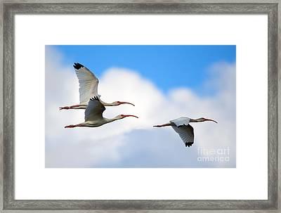 White Ibis Flock Framed Print