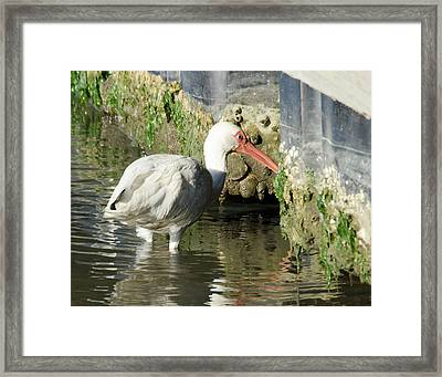 White Ibis Headed Home Framed Print by George Randy Bass