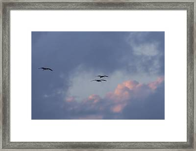 White Ibis In Flight At Sunset Framed Print