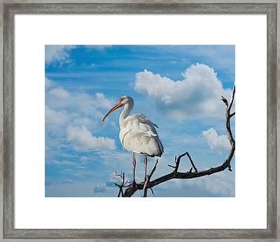 White Ibis Framed Print by Kim Hojnacki